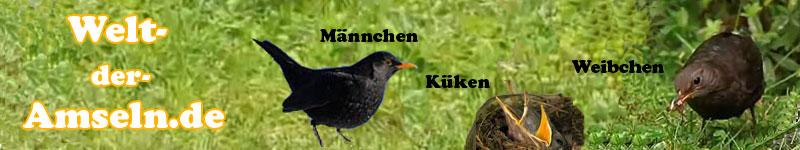 Amsel Von Der Wahl Des Nestplatzes Bis Zum Nestbau